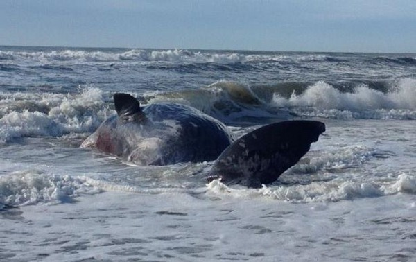 A 33 and a half foot sperm whale washed up on the beach in Hatteras Village Tuesday. Experts estimated it was 75 years old when it died. A necropsy could not determine a cause of death. The animal was buried. <span class=meta>(North Carolina Maritime Museum - Beaufort Photo&#47; V. Thyer)</span>