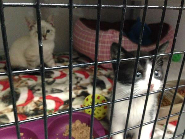 "<div class=""meta ""><span class=""caption-text "">Raleigh's Safe Haven for Cats is holding huge Black Friday adoption event. Learn more about the cats here: http://safehavenforcats.org/adoptions/meet-the-cats/ (WTVD Photo/ Anna Laurel)</span></div>"