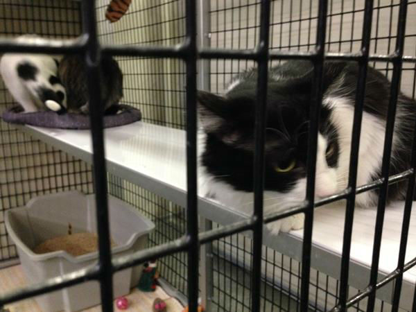 Raleigh&#39;s Safe Haven for Cats is holding huge Black Friday adoption event. Learn more about the cats here: http:&#47;&#47;safehavenforcats.org&#47;adoptions&#47;meet-the-cats&#47; <span class=meta>(WTVD Photo&#47; Anna Laurel)</span>