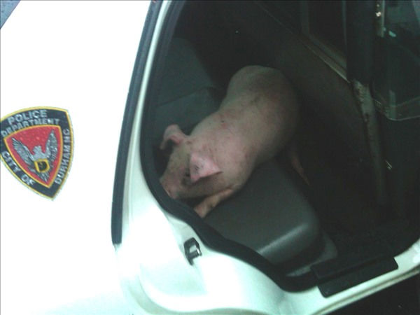 One of the captured pigs in the back seat of a...
