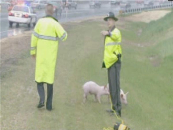 "<div class=""meta ""><span class=""caption-text "">Officers work to corral pigs along Interstate 40 (WTVD Photo/ Julian Harrison)</span></div>"