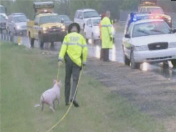 Officers work to corral pigs along Interstate 40 <span class=meta>(WTVD Photo&#47; Julian Harrison)</span>