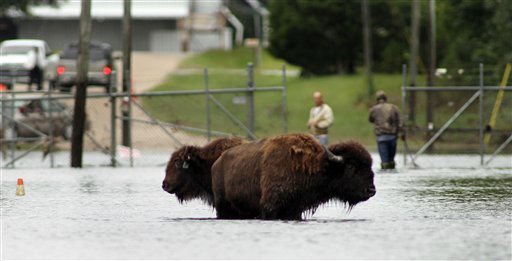 "<div class=""meta ""><span class=""caption-text "">Authorities try to contain two American buffalo that have been roaming the streets of flooded historic downtown Windsor, N.C., Monday, Oct. 4, 2010. The buffalo were set free from Livermon Recreational Park & Mini Zoo as rising water flooded the park.  (AP Photo/ Jim R. Bounds)</span></div>"