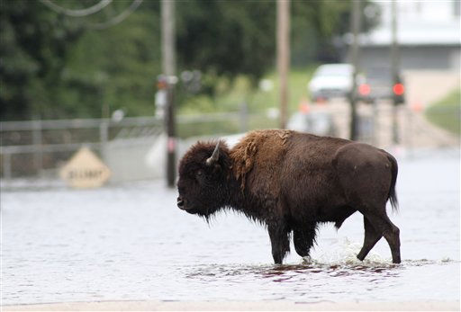 "<div class=""meta ""><span class=""caption-text "">One of two American buffalo set free from Livermon Recreational Park & Mini Zoo wades through floodwaters in historic downtown Windsor, N.C., Monday, Oct. 4, 2010.  (AP Photo/ Jim R. Bounds)</span></div>"