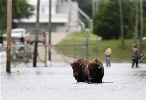"<div class=""meta ""><span class=""caption-text "">Authorities try to contain two American buffalo that have been roaming the streets of flooded historic downtown Windsor, N.C., Monday, Oct. 4, 2010.  (AP Photo/ Jim R. Bounds)</span></div>"