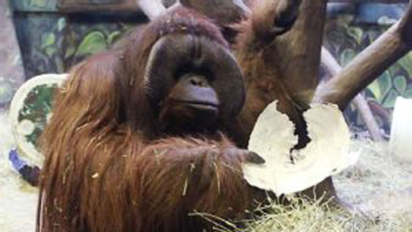 Eli the Ape      from Salt Lake City, Utah       What does he predict?      Super Bowl       How does he predict?      Zoo workers set up two paper-mache helmets for Eli to knock over.       How good is he?  Pretty good, especially recently. In a year when most    Super Bowl animal prognosticators went with the Broncos, Eli picked     the Seahawks. That makes his seventh straight correct prediction.  <span class=meta>(AP Photo&#47;Hogle Zoo)</span>
