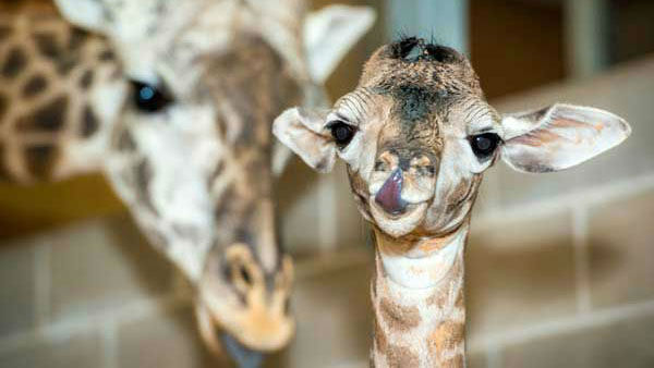 Baridi the giraffe          Home:     Houston Zoo       Birthday:     Tuesday, February 4          Need more cute? See photos of Baridi at 2 days old or    watch a live stream of Baridi and friends.  <span class=meta>(Photo&#47;KTRK)</span>
