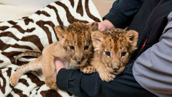 Kanu, Kondo and Kiume the lion cubs       Home:     Six Flags Great Adventure in New Jersey          Birthdays:     January and early February          Need more cute? The Great Adventure and Safari team has not one or two, but three new lion cubs.    See photos of all three here.  <span class=meta>(Photo&#47;WPVI)</span>