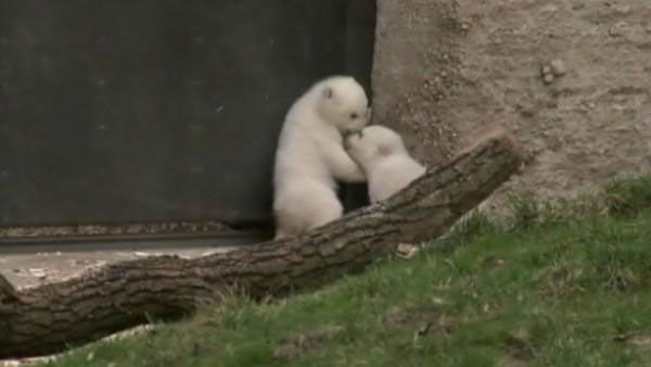 Polar bear twins     &#40;waiting on names!&#41;          Home:     Hellabrunn Zoo in Munich          Birthday:     December 2013          Need more cute?     The pair made their public debut last week, but even cuter is the     zoo&#39;s video of the babies              snuggling up to their mother          in January.  <span class=meta>(Photo&#47;WLS)</span>