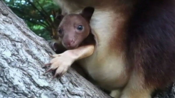 Tree kangaroo joey          Home:     Sydney&#39;s Taronga Zoo          Birthday:     September 2013          Need more cute? Watch this little girl peek out of her mother&#39;s pouch and    say hello to the world. The zoo says it will soon hold a social media     competition to give this rare little cutie a name.  <span class=meta>(Photo&#47;KGO)</span>