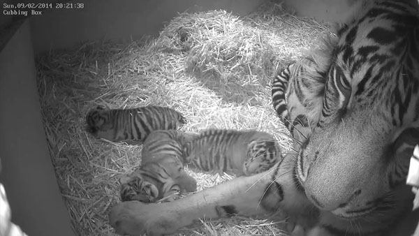 Baby tiger triplets          Home:     ZSL London Zoo          Birthday:     Monday, February 3          Need more cute? The zoo is posting plenty of adorable videos of the threesome on its Facebook page. Though they haven&#39;t been named yet,    zookeepers are calling one &#34;trouble&#34; because it wakes up its siblings so     much.  <span class=meta>(Photo&#47;AP)</span>