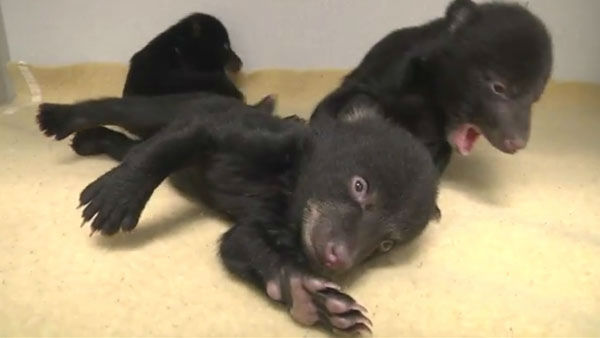 Black bear babies          Home:     Oregon Zoo     veterinary center, until they are ready to move to Texas          Birthday:     January &#40;estimated&#41;          Need more cute?     Watch these sleepy youngsters     snuggle with each other.  <span class=meta>(Photo&#47;KGO)</span>