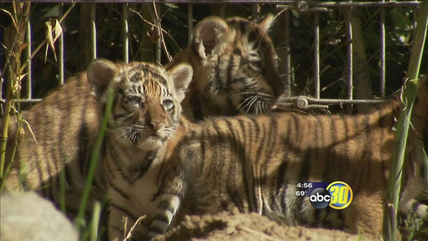 "<div class=""meta image-caption""><div class=""origin-logo origin-image ""><span></span></div><span class=""caption-text"">     Berani, Cinta, Arya and Batari the Malayan tigers          Home:     Fresno Chaffee Zoo          Birthday:     Sunday, January 5          Need more cute? Watch these little ones step into the spotlight for the first time. The    Facebook photo gallery that the zoo used for     the naming competition is pretty darn cute, too.  (Photo/KFSN)</span></div>"