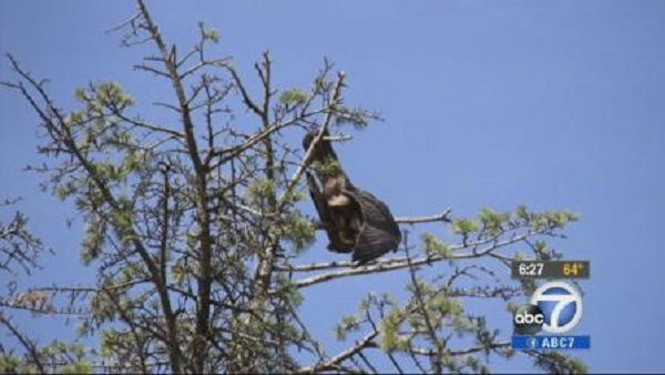 "<div class=""meta image-caption""><div class=""origin-logo origin-image ""><span></span></div><span class=""caption-text"">     Falcon       The sad tale:      A falcon was stuck at the top of a 70-foot tree for days     before she was discovered by a neighbor. Tethers around her legs got latched around the tallest branches of the tree, trapping the bird in place.       The happy ending: After animal rescue workers got the bird down, they were able to    return her to her owner, a master falconer.  (Photo/KABC)</span></div>"