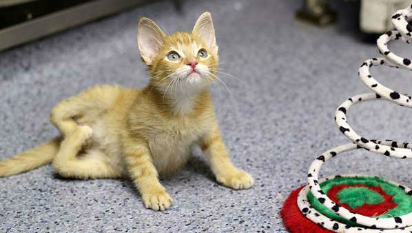 "<div class=""meta ""><span class=""caption-text "">     Stockings       The sad tale: Meet Stockings the kitten. He was born    with deformed legs in the shape of a ""W"". This made it     impossible for him to walk or use his litter box, much less run or play, though vets said he tried. Vets at the humane society that housed him decided to     perform a risky surgery to bring his legs forward-facing.       The happy ending:     Not only was the surgery successful, but a vet technician who performed the procedure adopted him. We call this a win for the cat and the human.  (Photo/KGO)</span></div>"