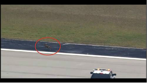 "<div class=""meta ""><span class=""caption-text "">The Wile E. Coyote chase Headache factor: 2 This didn't cause a headache for passengers as much as airport officials. Pilots reported a coyote loose on a runway in Houston. It dodged airport officials for a good while and even escaped off the runway before it was finally chased down. Animal control said this wasn't the first of its ""sporadic coyote nuisance complaints"" at the airport.  Next up: A dent in the engine (Photo/KTRK)</span></div>"