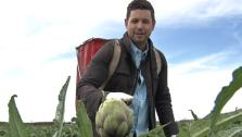 Chef Ryan Scott picking artichokes at Ocean Mist Farms in Castroville, California.