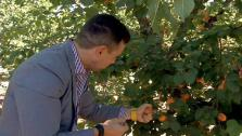 Chef Ryan Scott Picks Apricots, Buys Fresh Cheese