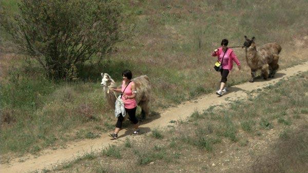 Llama Walking with Mama Llama